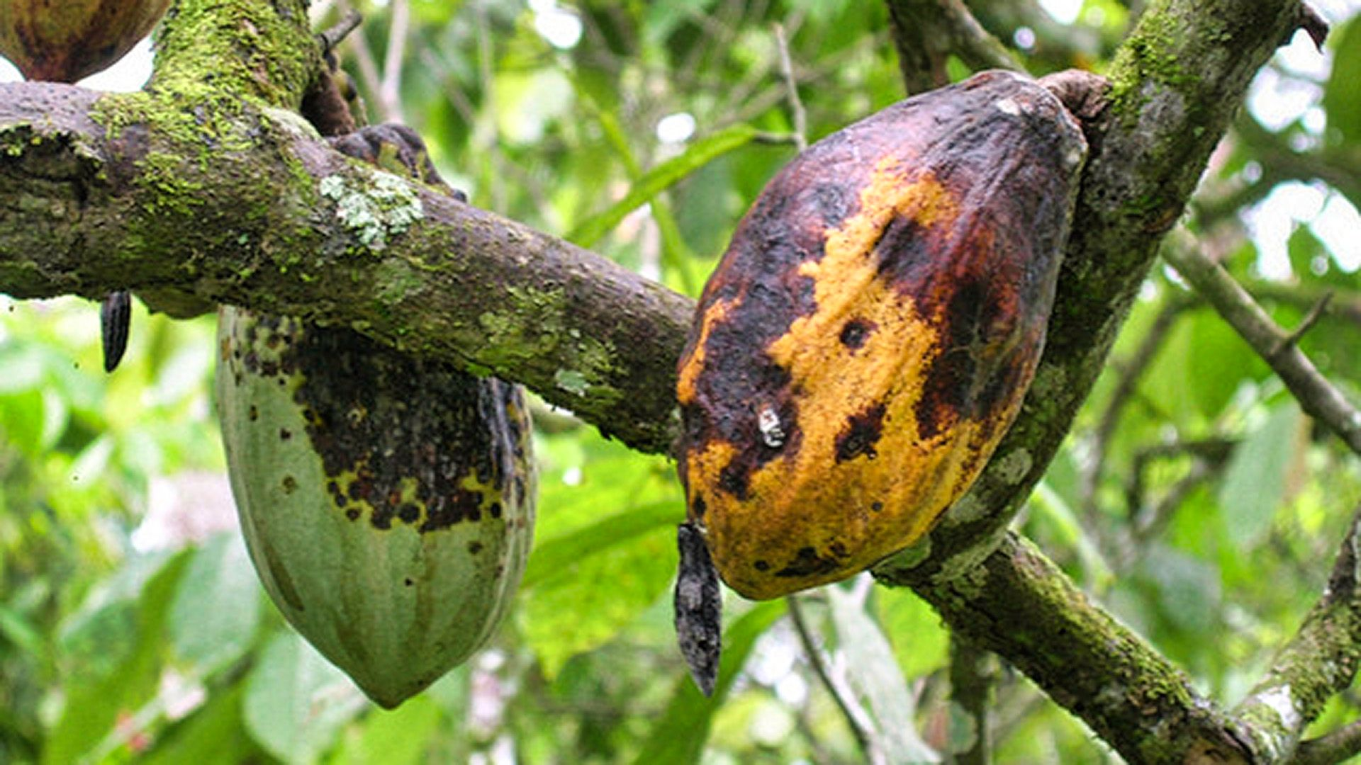 The Chemical Clue That Could Lead to Eliminating Black Pod