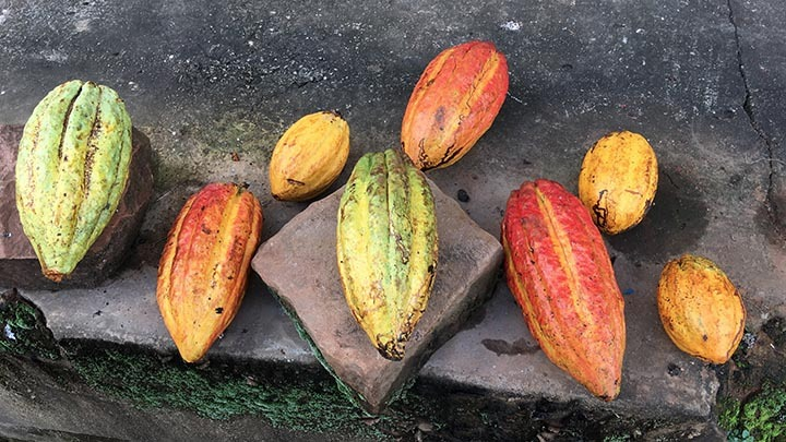 Cocoa and Chocolate in Brasil - Part 1